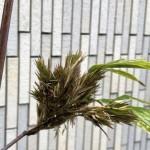 珍しいお花。60~120年に一度開花する「竹」に花が咲きました。枚方市樟葉駅前プロ鑑定で高価買取リサイクル『質はしもと(有)橋本質店』